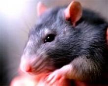 Отравление крысины ядом кота